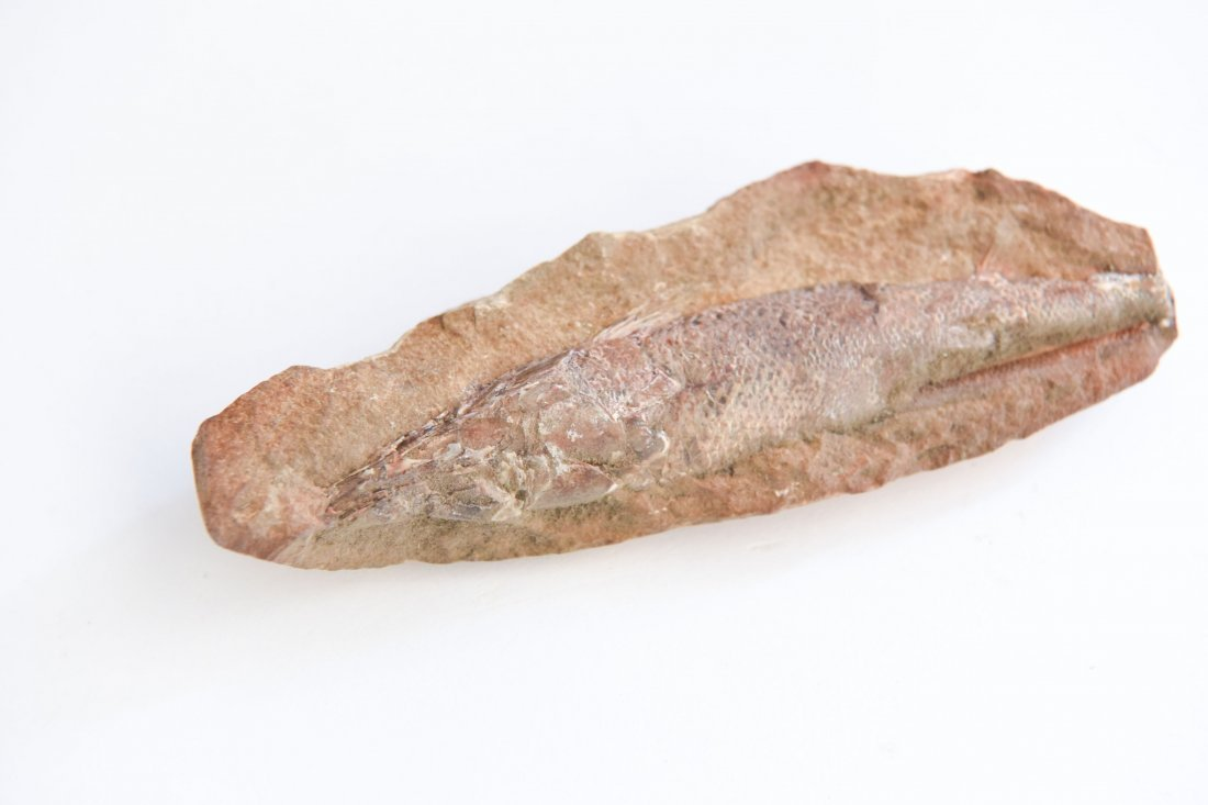 CRETACEOUS FISH FOSSIL - 2