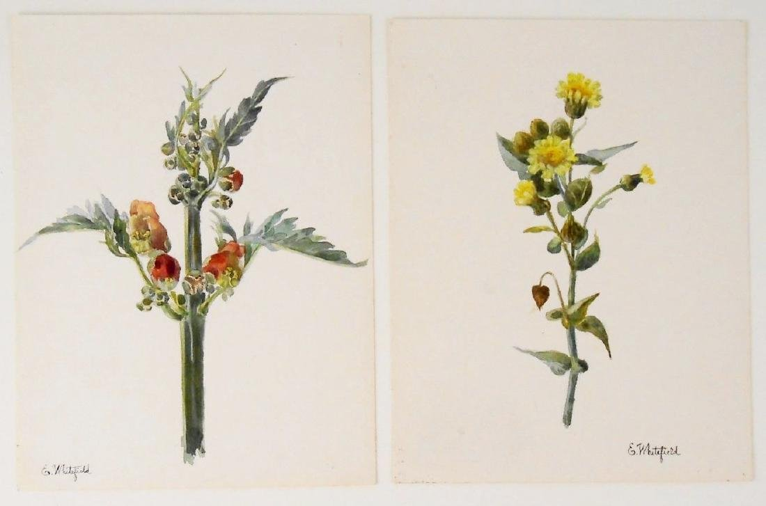 Two 19th Century Botanical Watercolors