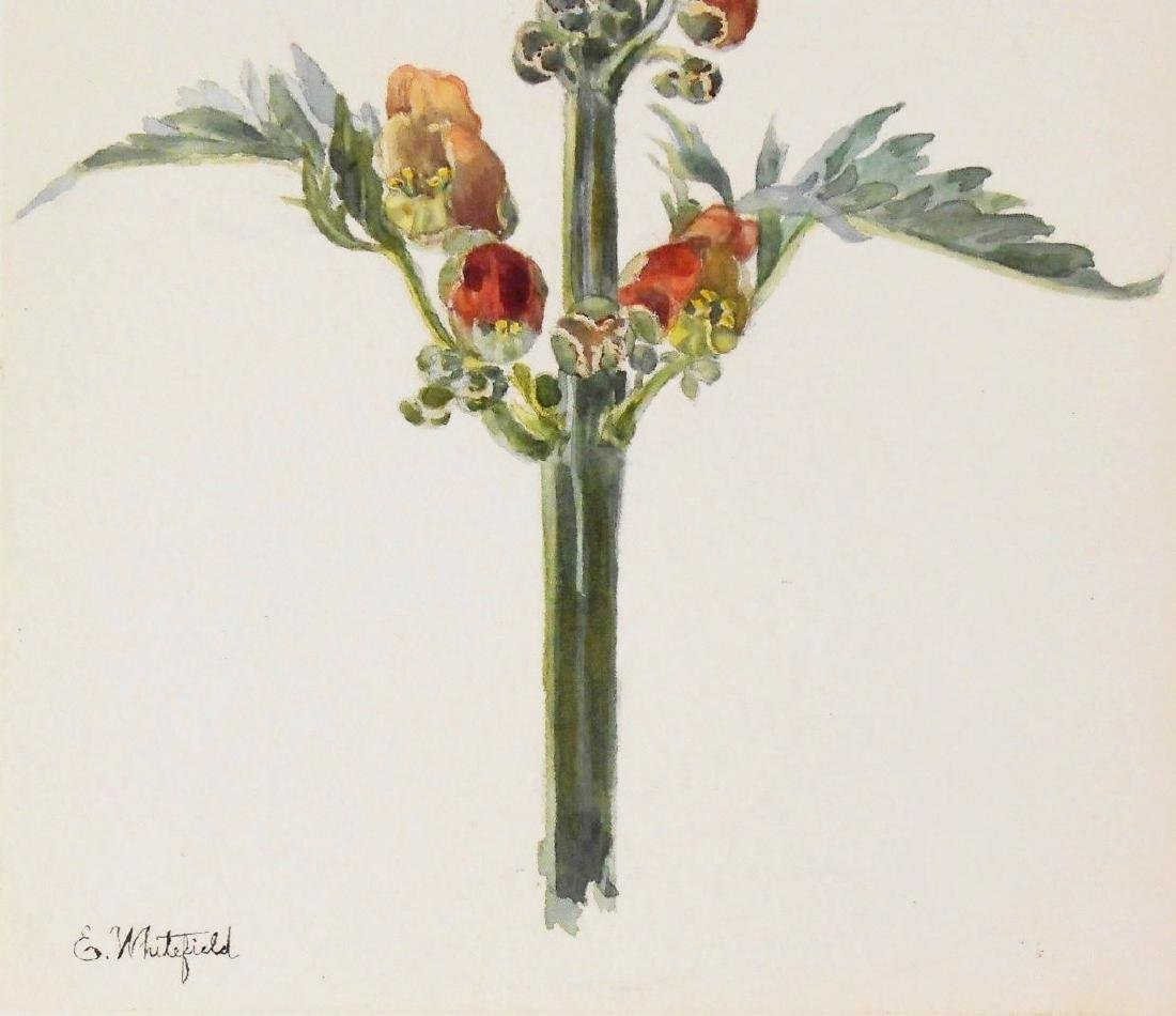 Two 19th Century Botanical Watercolors - 2