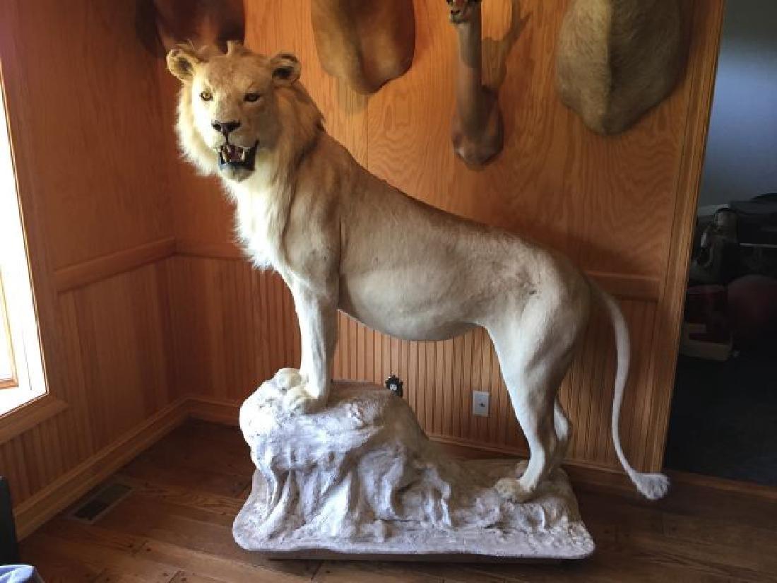 White Lion Full Body Mount