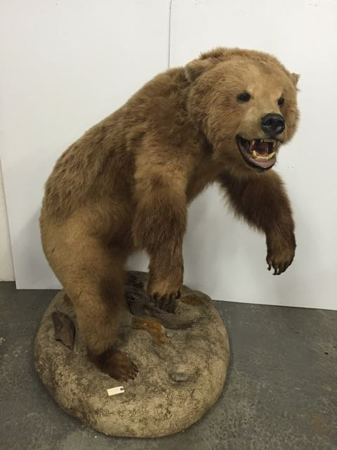 Mounted Alaskan Brown Bear