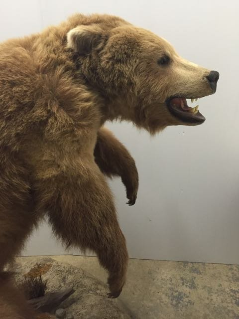 Mounted Alaskan Brown Bear - 5