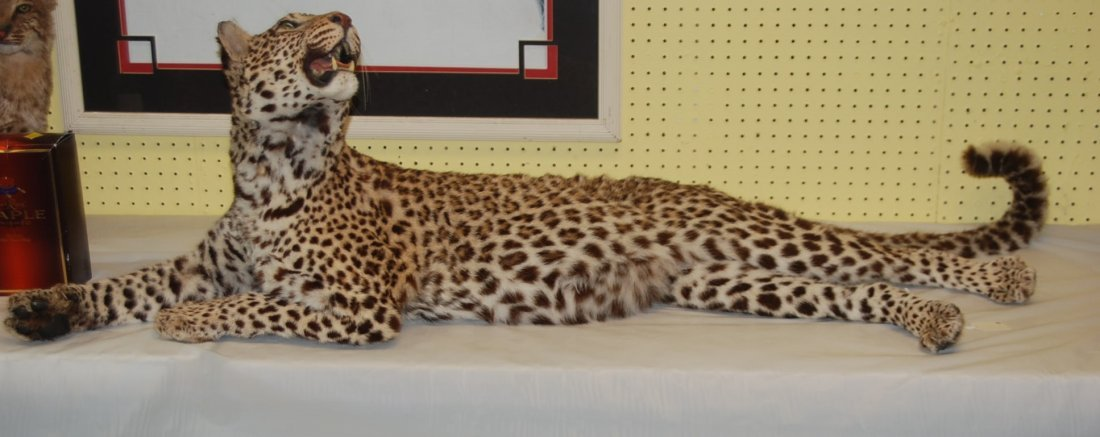 Mounted Spotted Cheetah at Rest