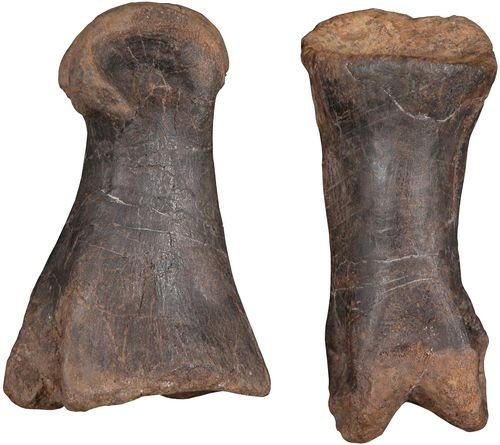 3: ALLOSAURUS FRAGILIS TOE BONES