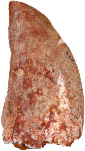 0002: AFRICAN T-REX FOSSIL TOOTH