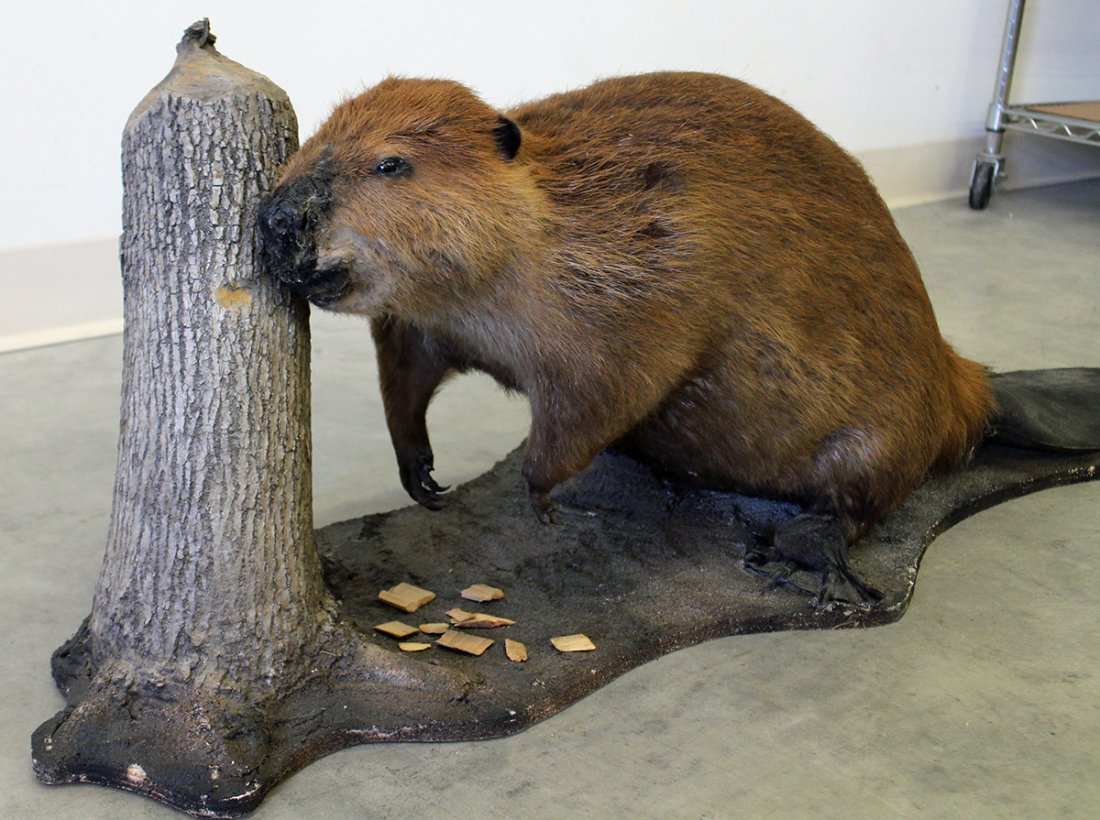 BEAVER TAXIDERMY MOUNT - 3