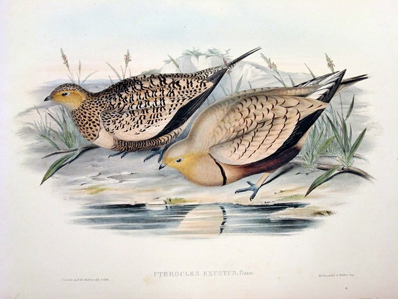 JOHN GOULD AND H.C. RICHTER COLORED LITHOGRAPH