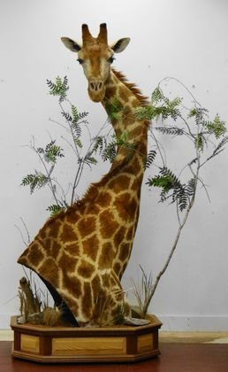 African Giraffe Shoulder Mount with Base