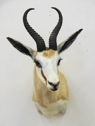 African Springbok Trophy Head Mount