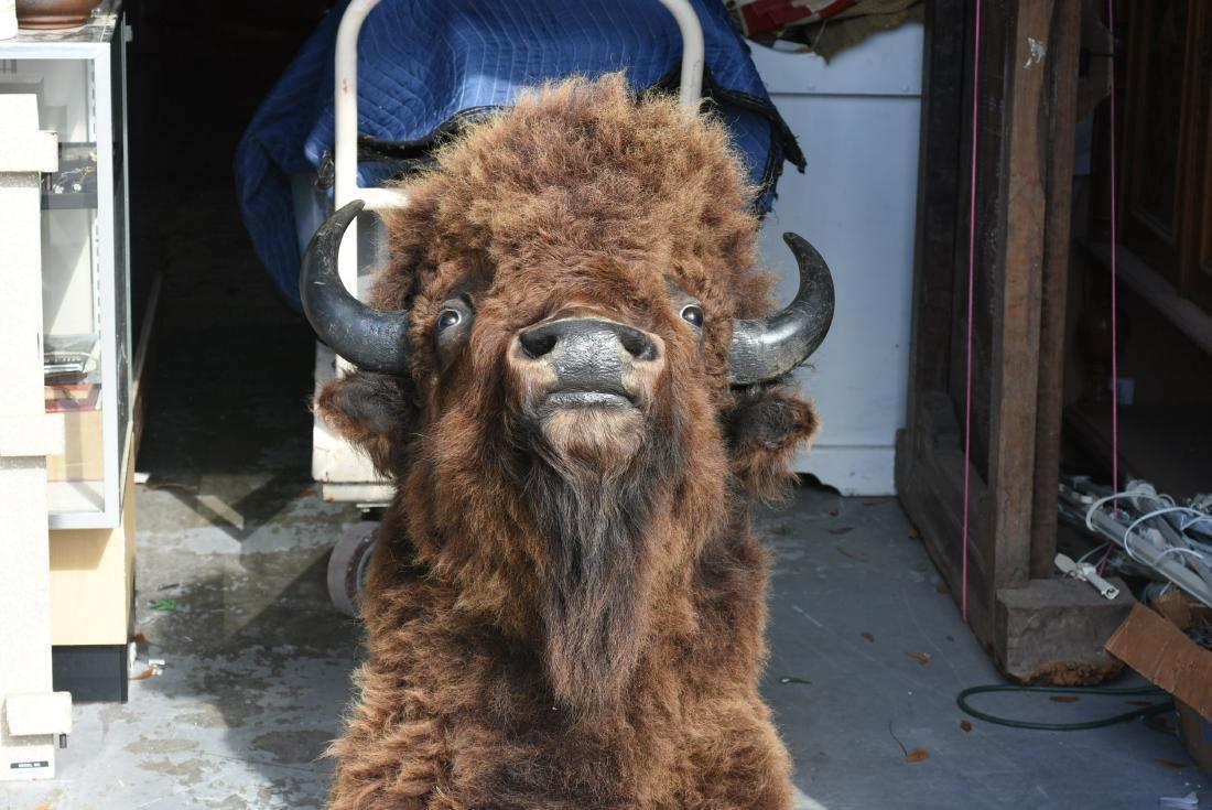 Taxidermy Buffalo head