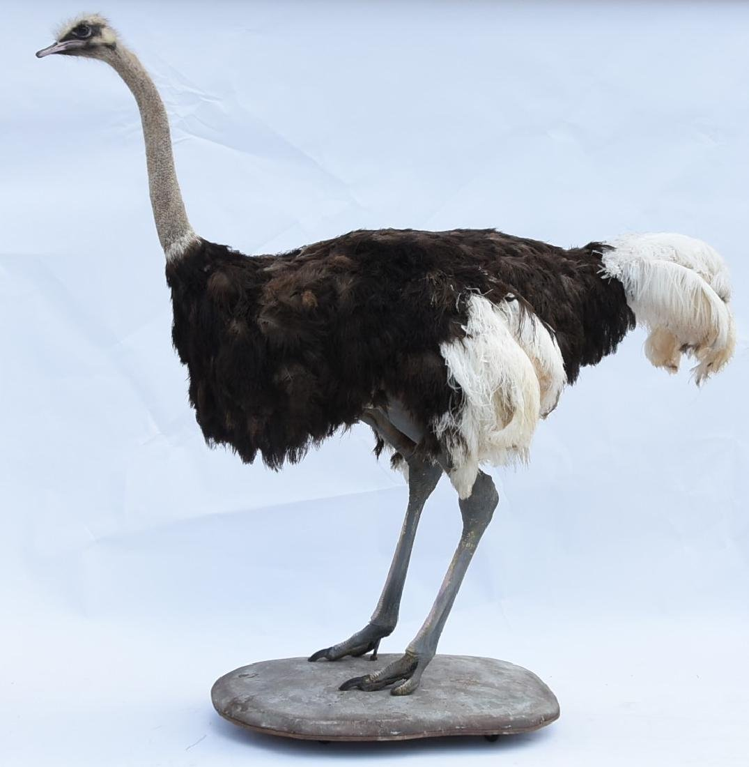 Real Taxidermy Ostrich
