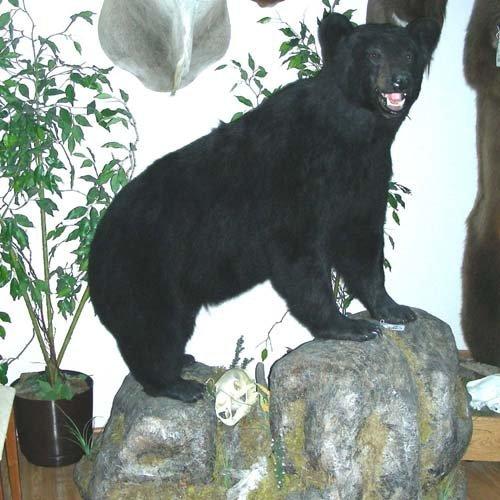 84: BEAUTIFUL FULL BODY MOUNT OF STALKING BLACK BEAR ON