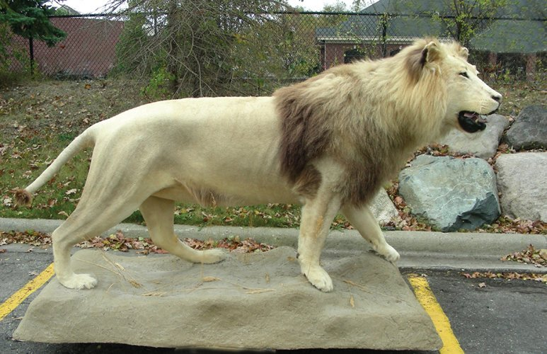 MASSIVE FULL BODY MOUNT OF ADULT MALE AFRICAN LION
