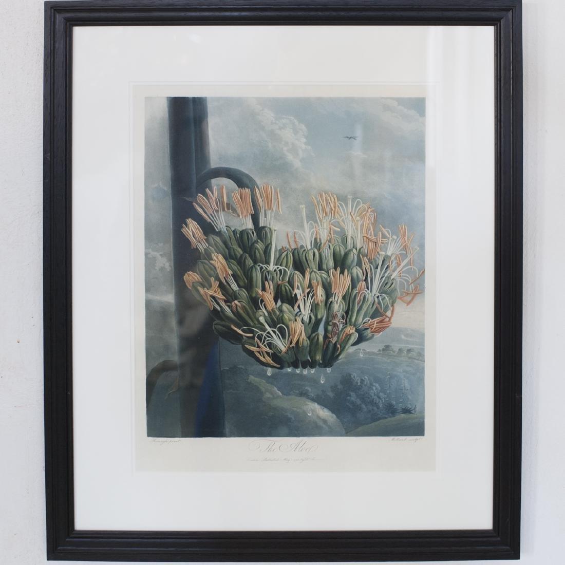 """Robert Thornton """"The Aloe"""""""