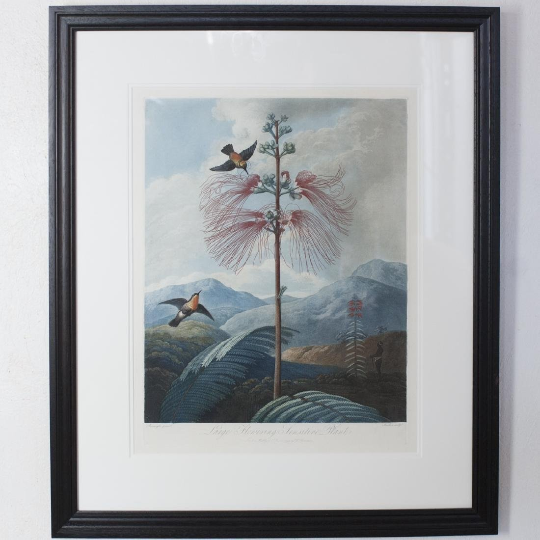 "Robert Thornton ""Large Flowering Sensitive Plant"""