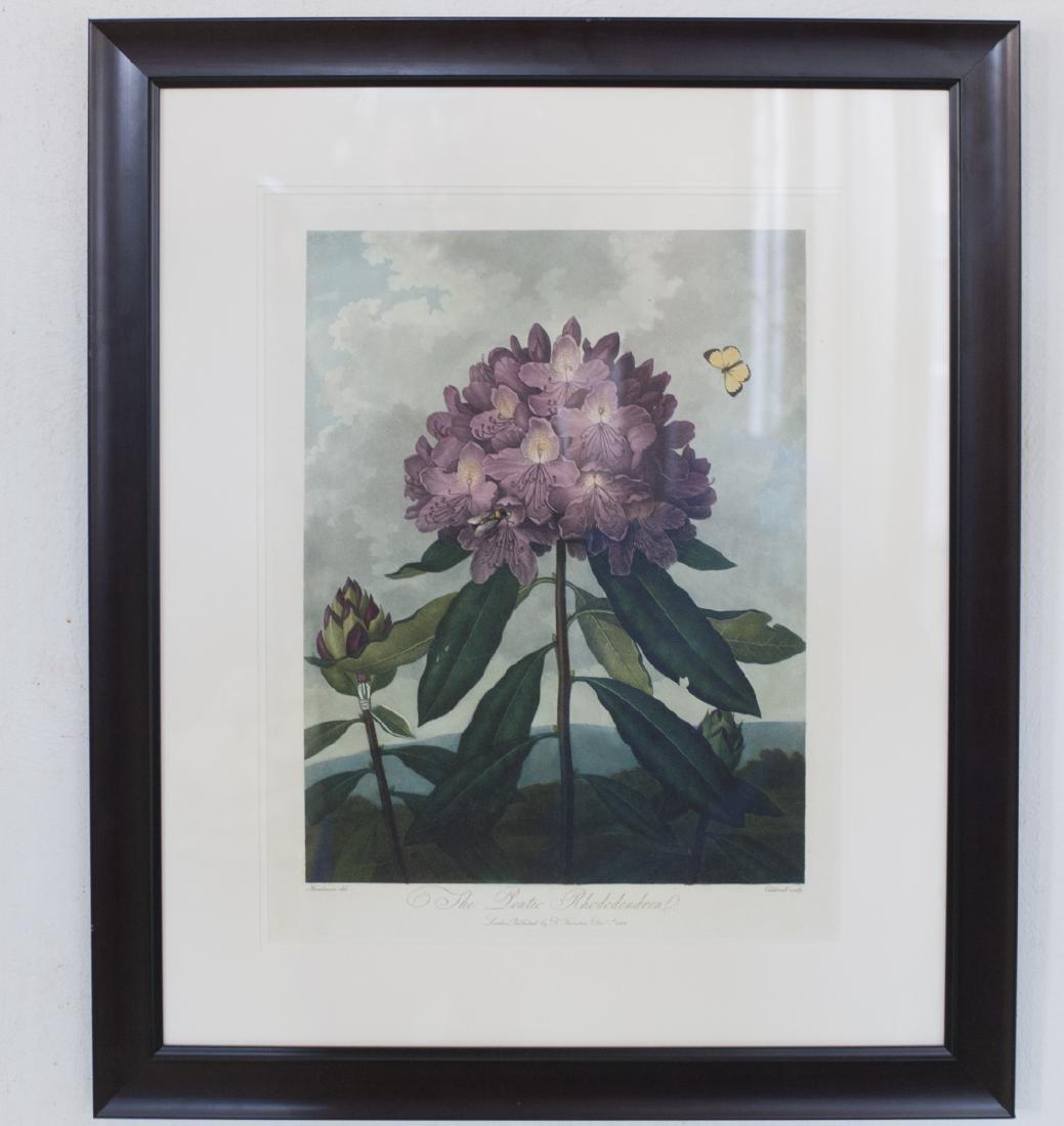 "Robert Thornton ""The Pontic Rhododendron"""