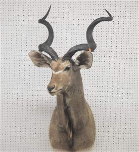 African Kudu Taxidermy Shoulder Mount Trophy