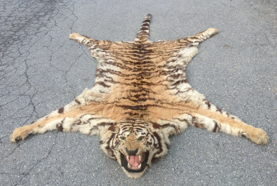 Circa 1946 Taxidermy Tiger Skin Rug Mount