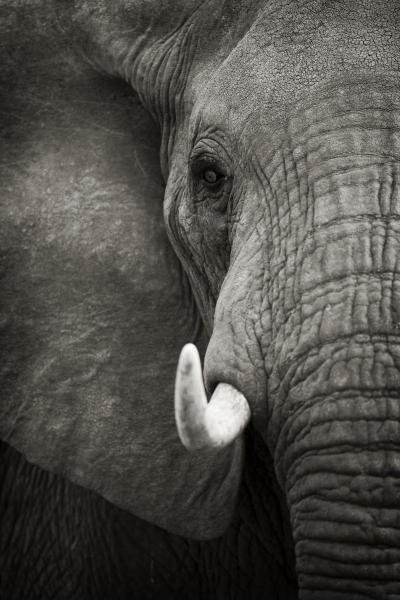 "73G: ANDY BIGGS  ""ELEPHANT PORTRAIT"""