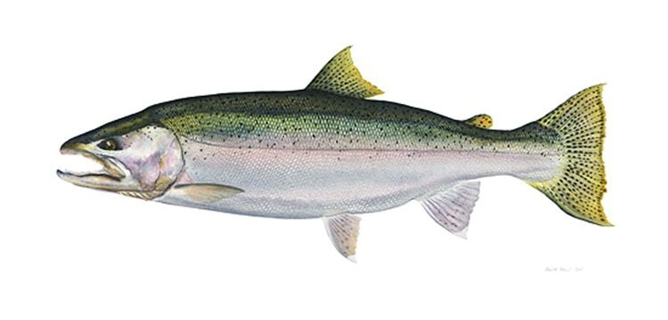 9W: FLICK FORD - STEELHEAD
