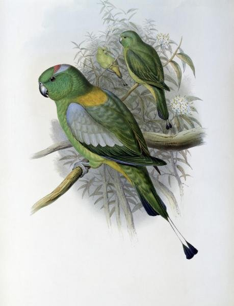 JOHN GOULD  - RACKET - TAILED PARROT  -  GICLÉE ON