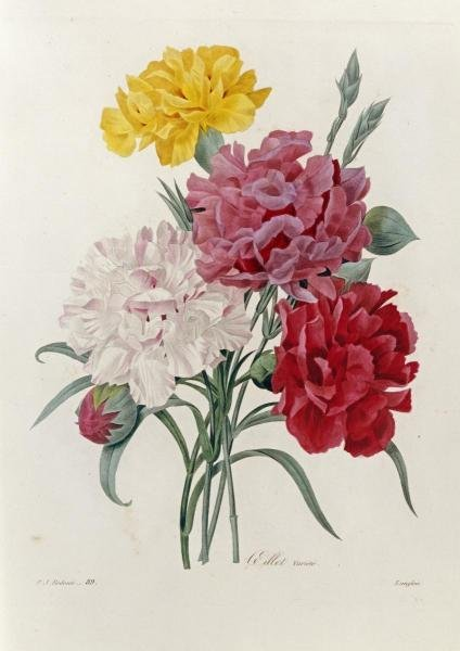 PIERRE JOSEPH REDOUTE -CARNATIONS - GICLÉE ON CANVAS