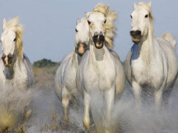 THEO ALLOFS -CAMARGUE HORSES RUNNING - GICLÉE ON CANVAS