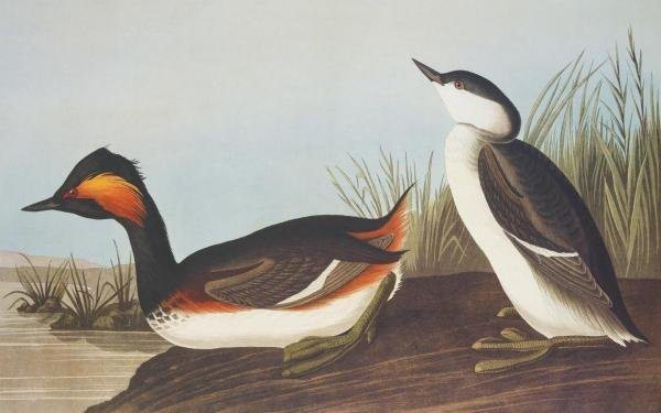 JOHN JAMES AUDUBON -EARED GREBE - GICLÉE ON CANVAS