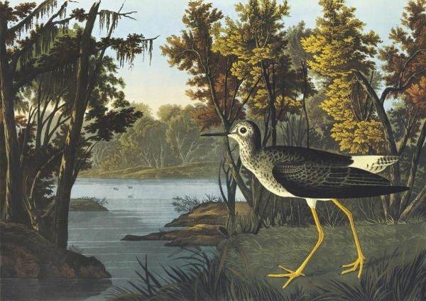 JOHN JAMES AUDUBON -YELLOW SHANK - GICLÉE ON CANVAS