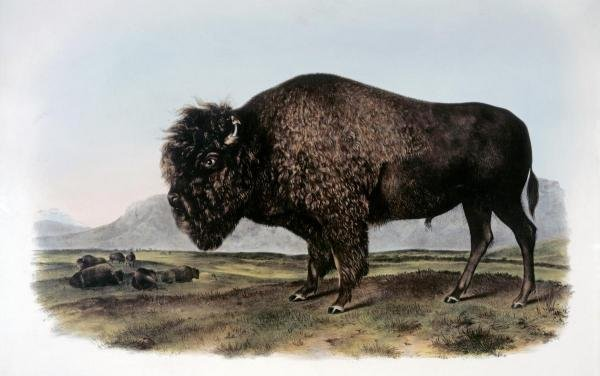 JOHN JAMES AUDUBON  - AMERICAN BISON OR BUFFALO  -