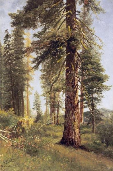 ALBERT BIERSTADT  - CALIFORNIA REDWOODS  -  GICLÉE ON