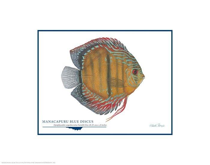 MANACAPURU BLUE DISCUS - FLICK FORD