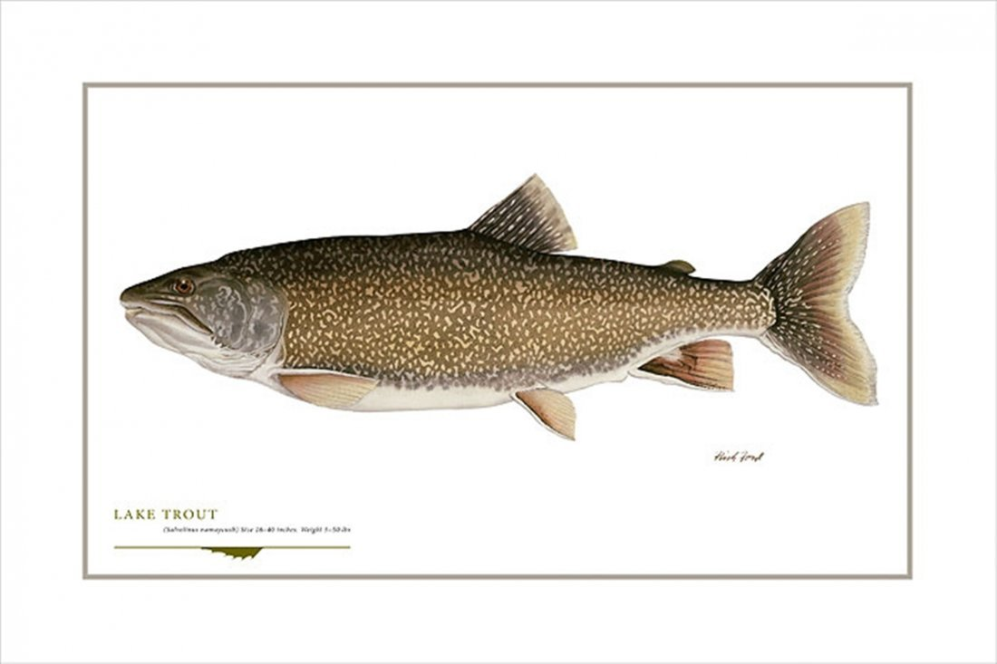 LAKE TROUT - FLICK FORD