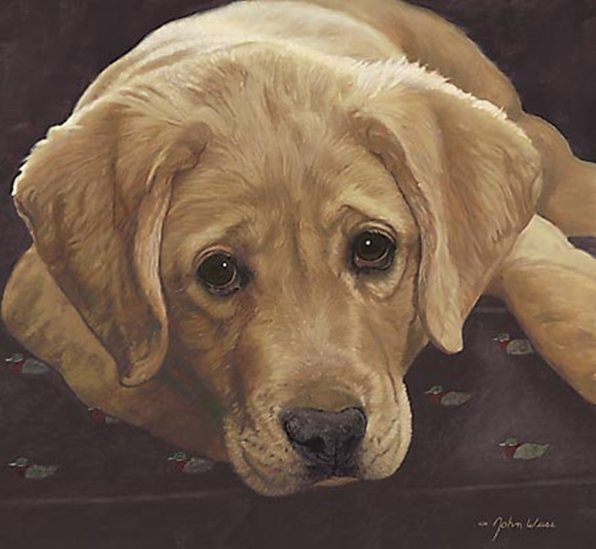 BEST LOVED BREEDS: YELLOW LABRADOR RETRIEVER - JOHN