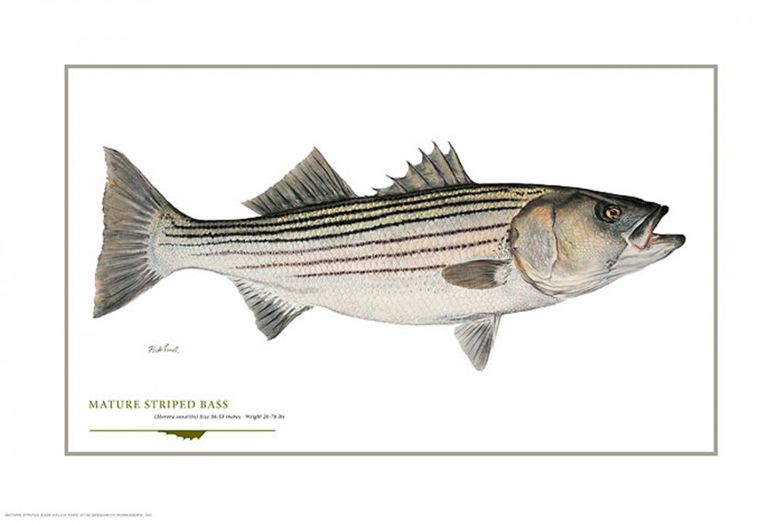 MATURE STRIPED BASS - FLICK FORD