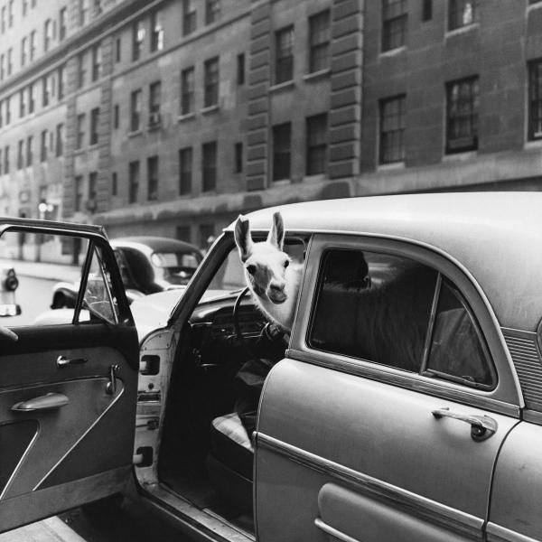 ANONYMOUS - LLAMA IN A CAR, CA. 1950