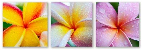Plumeria Trio by Doug Cavanah Three 12x12 images.