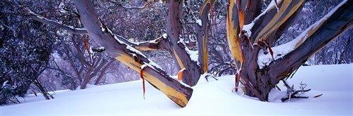 David Evans  - High Country Snow Gums by David Evans