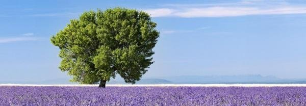 NADIA ISAKOVA - TREE IN A LAVENDER FIELD, PROVENCE,
