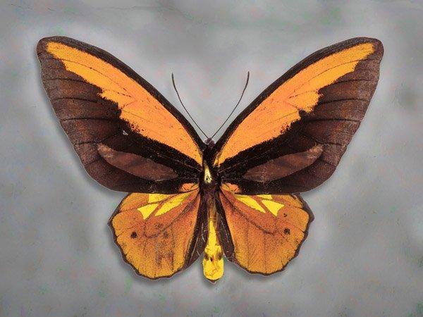Wallaces Golden Birdwing by Richard Reynolds