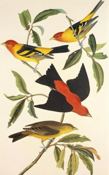 JOHN JAMES AUDUBON - LOUISIANA TANAGER, SCARLET TANAGER