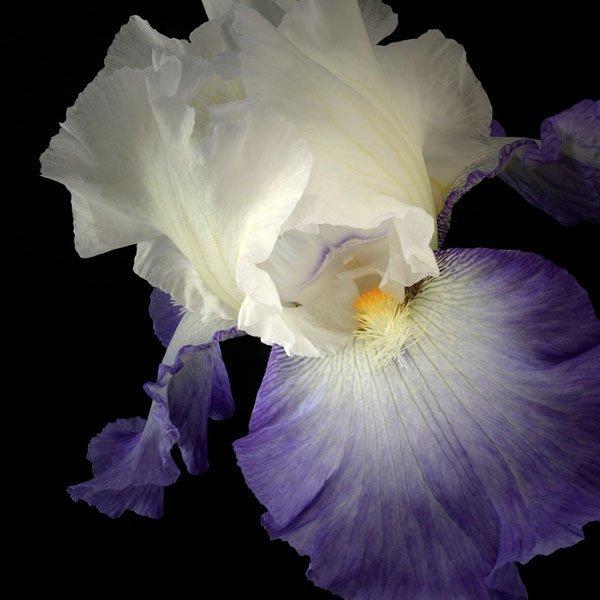 Tall Bearded Iris 9 by Richard Reynolds