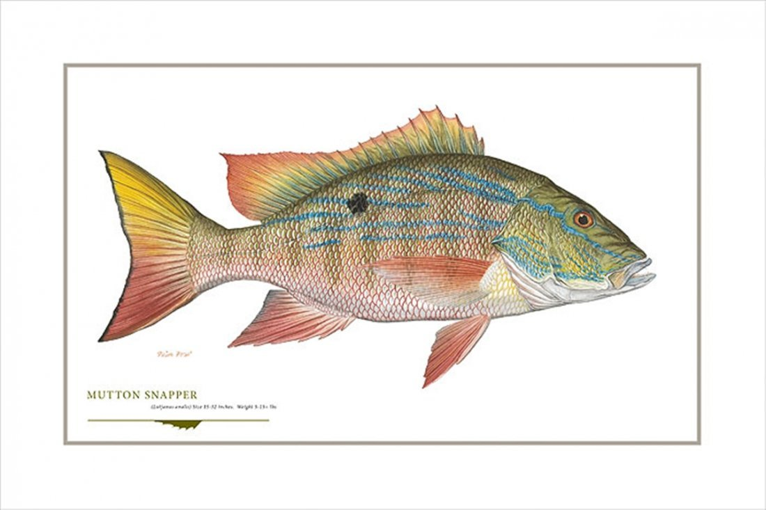 MUTTON SNAPPER - FLICK FORD