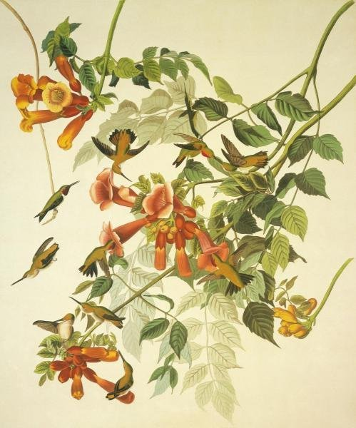 JOHN JAMES AUDUBON - RUBY-THROATED HUMMINGBIRD