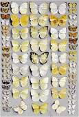 Marian Ellis Rowan - Sixty-seven Lepidoptera