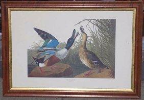 Audubon - Big Shoveller Duck Engraving J.j. Audubon -