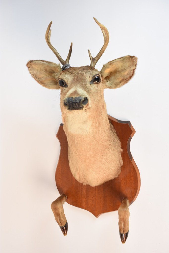 Taxidermy Deer Head Mount