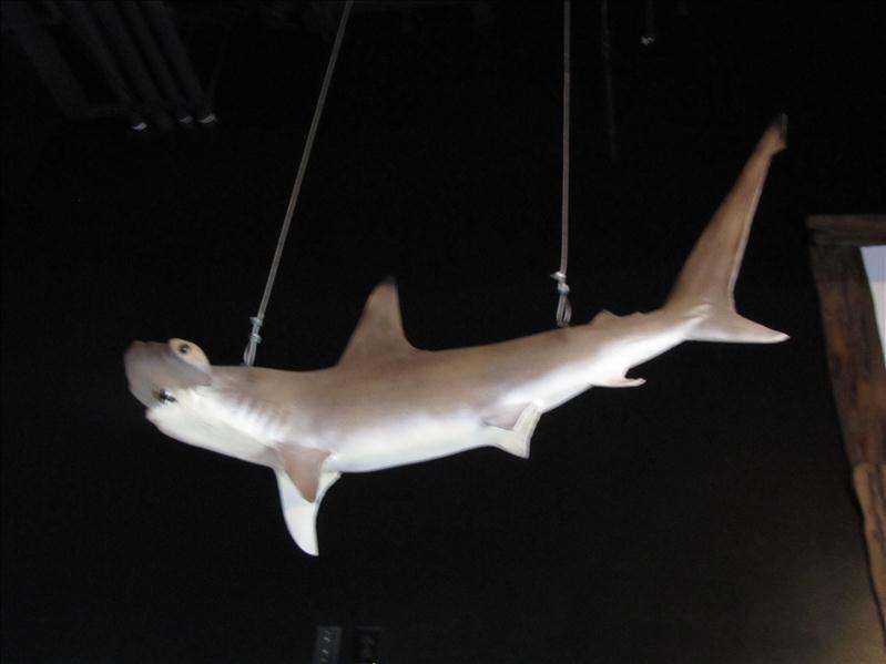 1: Decorative Hammerhead Shark