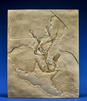 "The ""dinosaur Bird"" Archaeopteryx Cast"