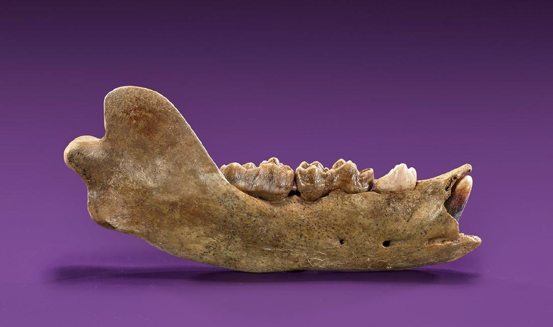 CAVE BEAR JAW SECTION